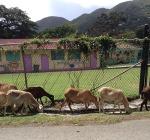 Laura-CaribbeanTrip-goats