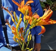 daylilies - edible?